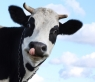 Cow-Licking-Nose-Funny-Picture